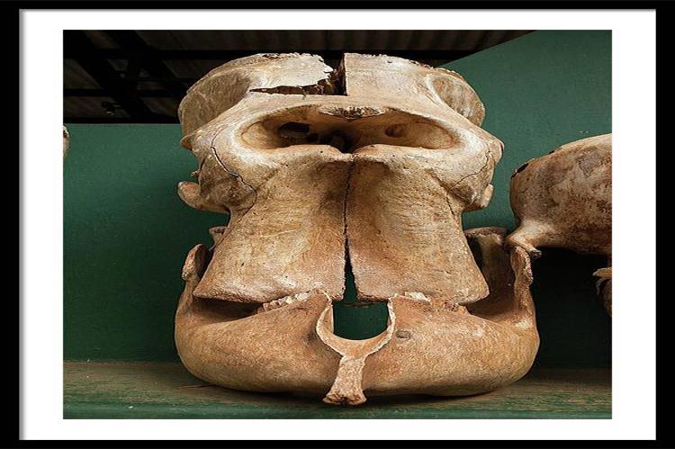 Elephant Skull Cyclops