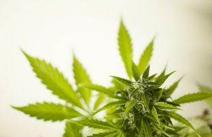 CBD Insights: Top Reasons to Buy Organic Hemp Flower