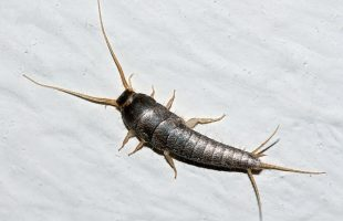 Why Do I Have Silverfish In My Home?