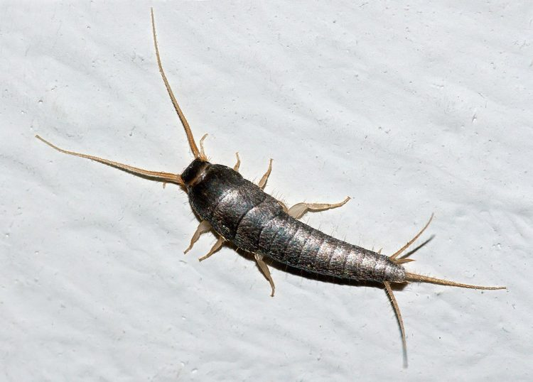 Silverfish In My Home